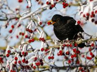 Amsel in Beerenstrauch (Foto: Mike Lane/fotolia)